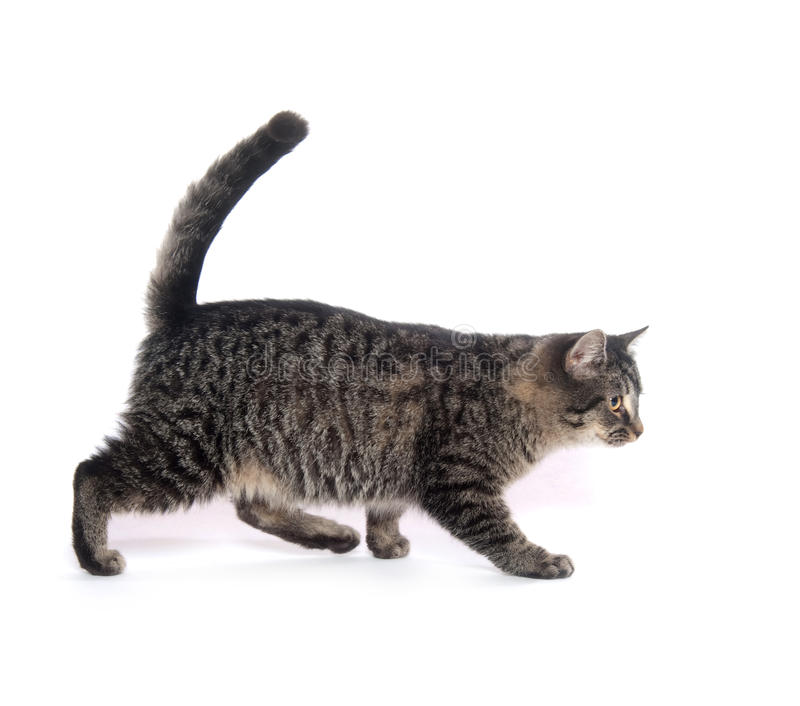 Cute tabby cat royalty free stock image