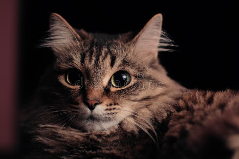 Close-up portrait of a beautiful cat laying indoors stock photo
