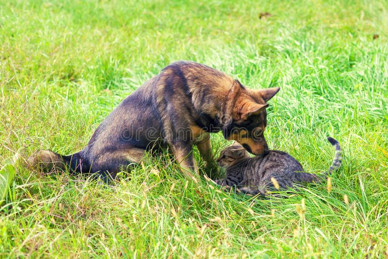 Cat and dog are playing together on the grass. Cute tabby cat and dog are best friends, playing together on the grass royalty free stock photo