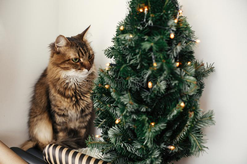 Cute tabby cat with green eyes sitting at christmas tree with lights. Winter holidays. Maine coon relaxing at wrapping festive stock photo
