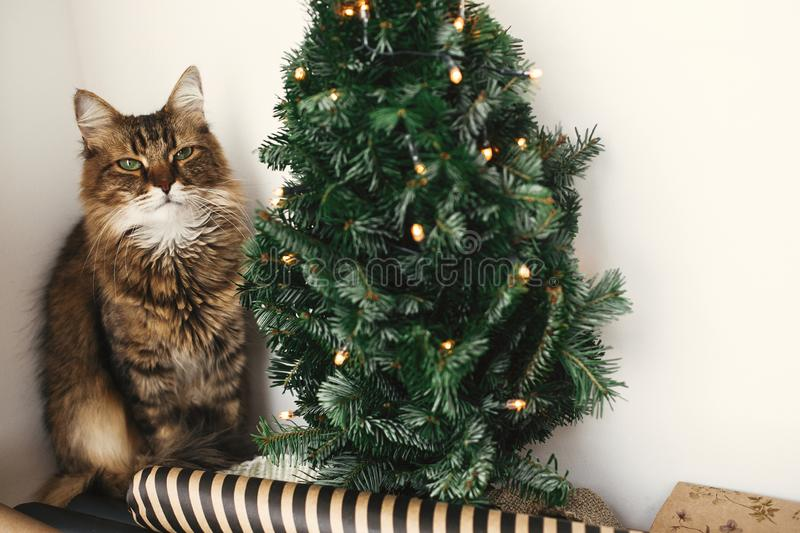 Cute tabby cat with green eyes sitting at christmas tree with lights. Winter holidays. Maine coon relaxing at wrapping festive royalty free stock image