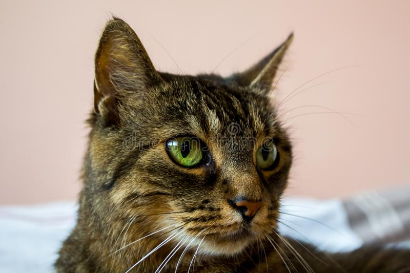 Cute tabby cat has beautiful eyes. she is lying on the bed royalty free stock photos