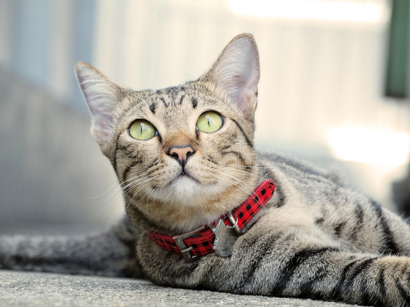 Download Cute Tabby Cat Lay Down On The Floor Stock Photo   Image: 61695116
