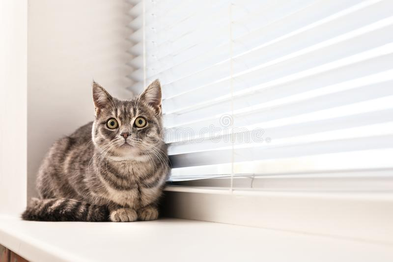 Cute tabby cat near window blinds on sill indoors. Space for text royalty free stock photography