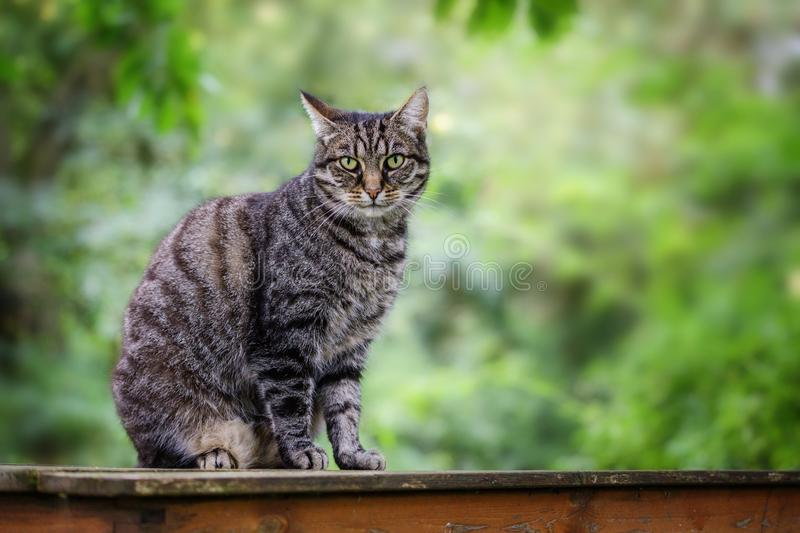 Tabby cat sits on a garden table against a green background with copy space, selected focus. Cute tabby cat sits on a garden table against a green background royalty free stock photo