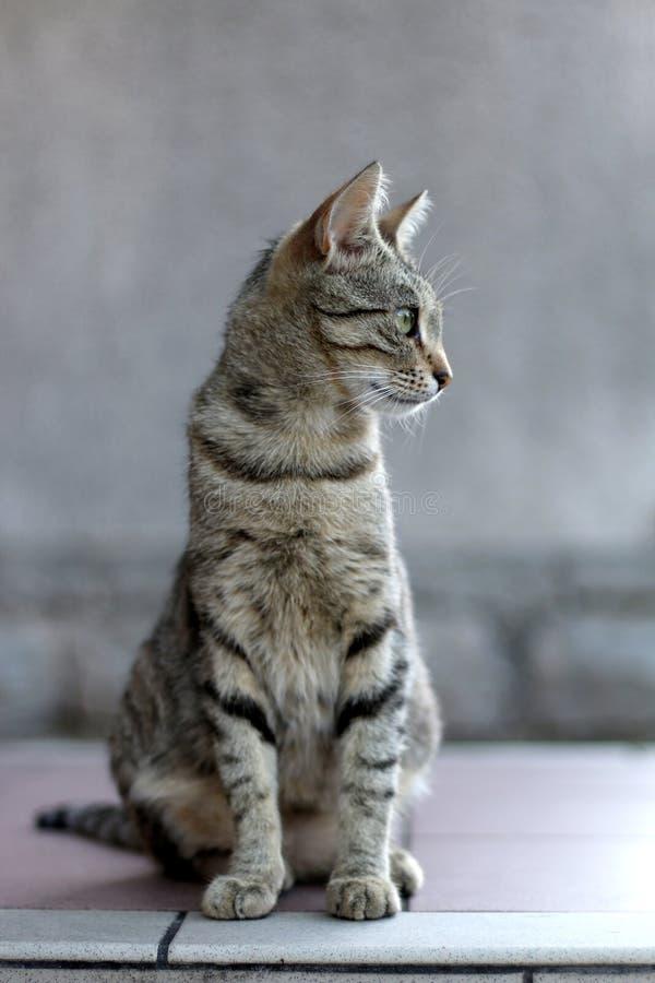 Tabby Cat royalty free stock photography