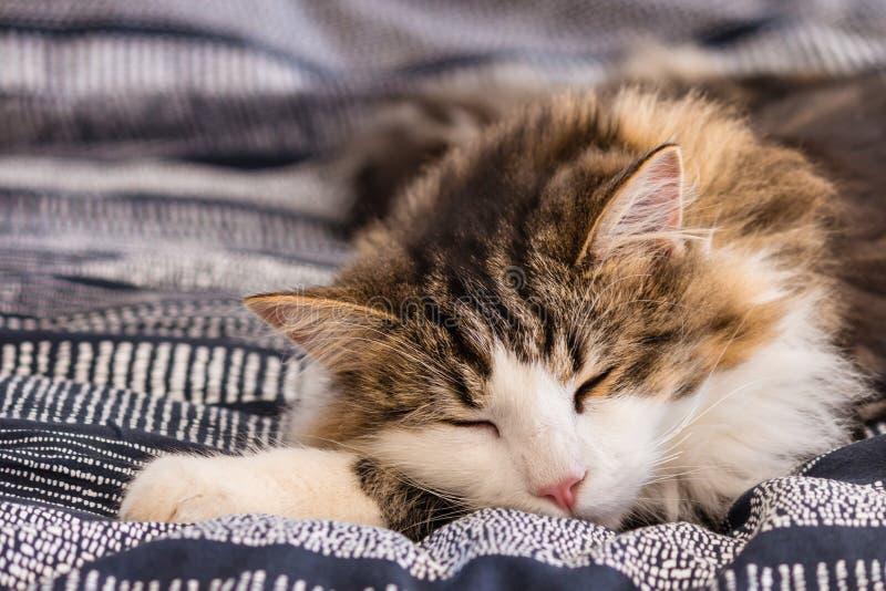 Cute tabby cat sleeping on blue duvet stock photo