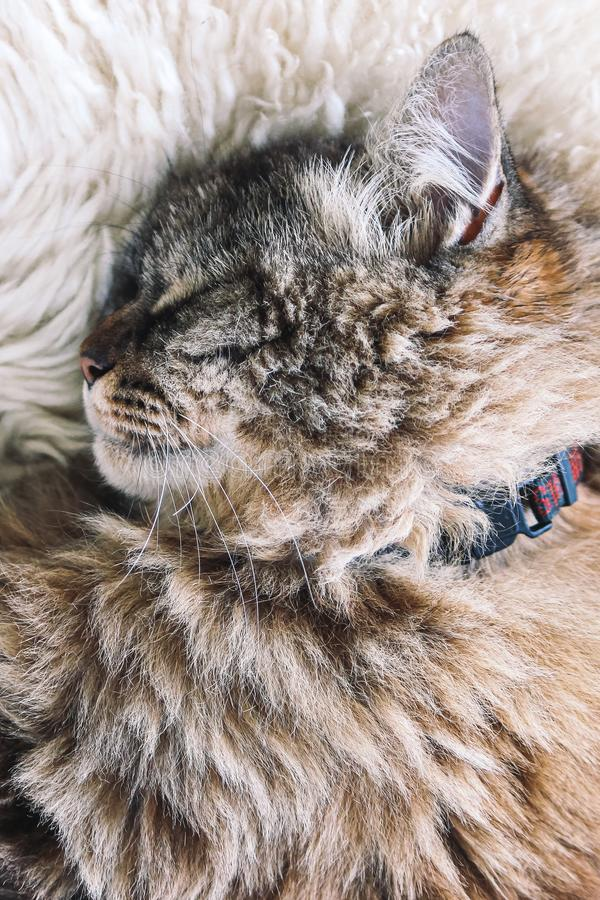 Cute tabby cat sleeps on white fluffy blanket. Black cat collar around neck. Persian cats. Taking a nap. Animals slepping. Amazing. Pet. Kitty stock images
