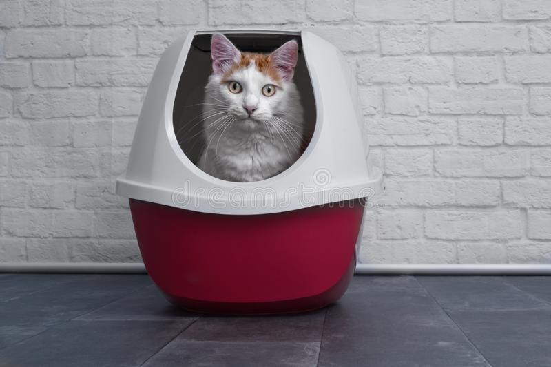 Cute tabby cat using a red, closed litter box. Cute longhair cat using a red, closed litter box and looking to the camera.nn royalty free stock photography