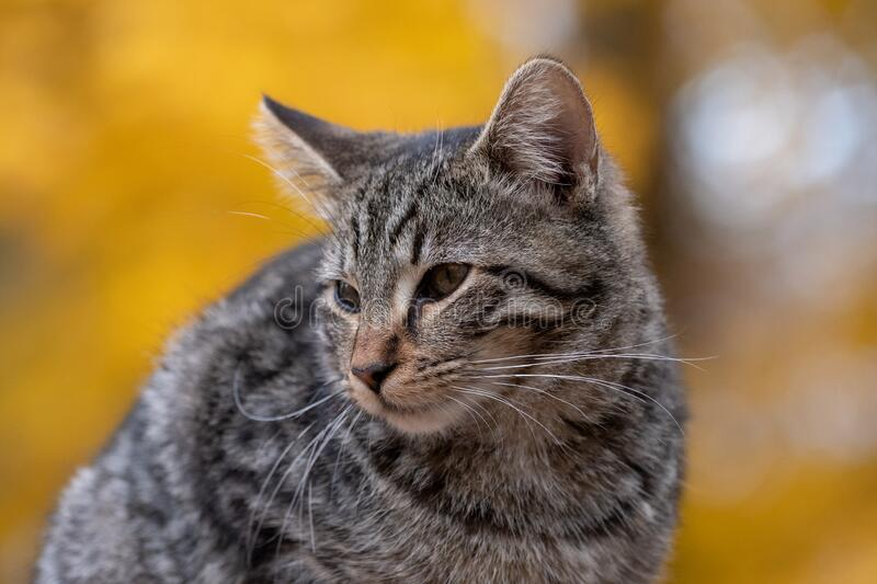 Cute tabby cat with yellow background stock images