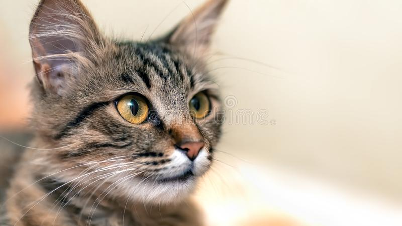 Cute tabby cat with yellow eyes and long whiskers. Close-up portrait of a beautiful cat stock image