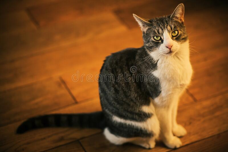 A cute tabby house cat sits on the wooden plank floor and looks puzzled. A cute tabby mongrel house cat sits on the wooden plank floor in the warm sunlight and stock images