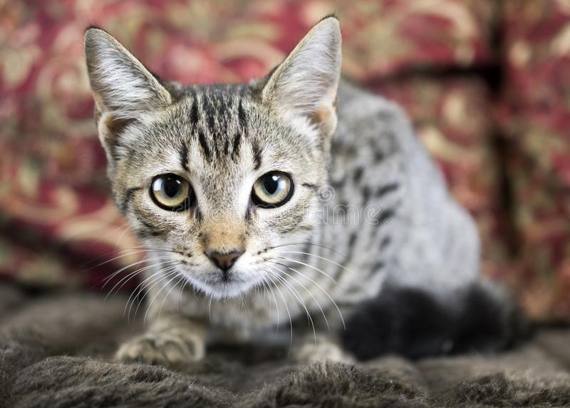 Cute Tabby Kitten animal shelter cat adoption photography. Five month old male tabby cat kitten on a couch in photo studio. Humane society animal shelter pet royalty free stock images