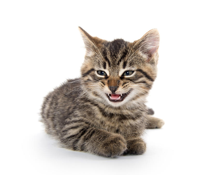 Cute tabby kitten crying on white stock photos