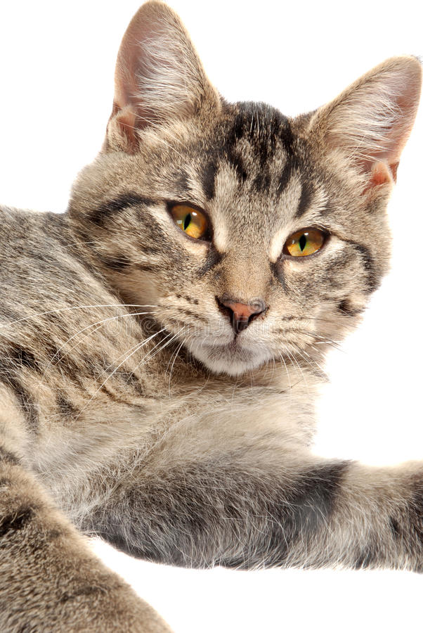 Download Cute Tabby Kitten face stock photo. Image of prey, face - 15402818