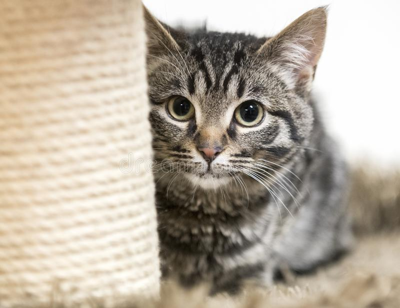 Cute tabby kitten hiding behind scratching post. Cute tiger kitten on cat tree playing behind a scratching post. Four month old male domestic short haired cat stock images