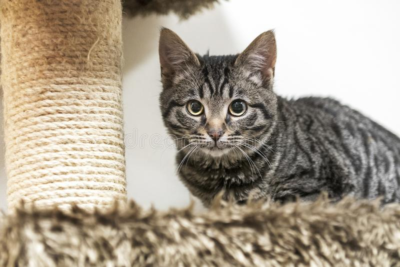 Cute tabby kitten playing on cat tree. Cute tiger kitten on cat tree playing behind a scratching post. Four month old male domestic short haired cat. Pet rescue royalty free stock images