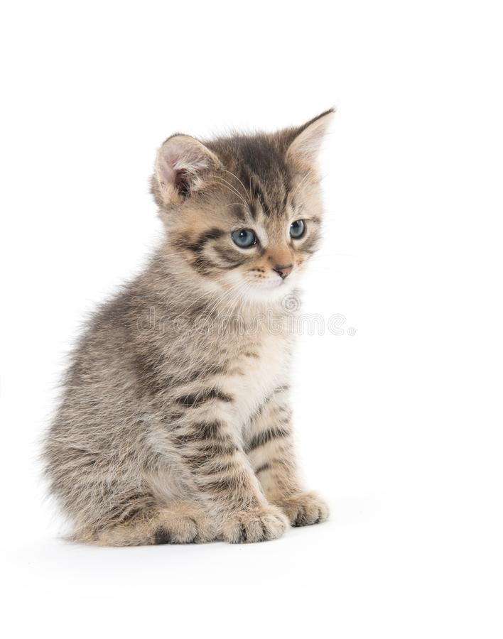Cute tabby kitten sitting on white stock image