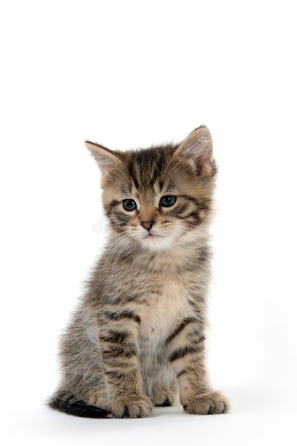 Cute tabby kitten sitting on white royalty free stock photos