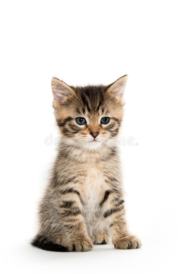 Cute tabby kitten sitting on white royalty free stock photo