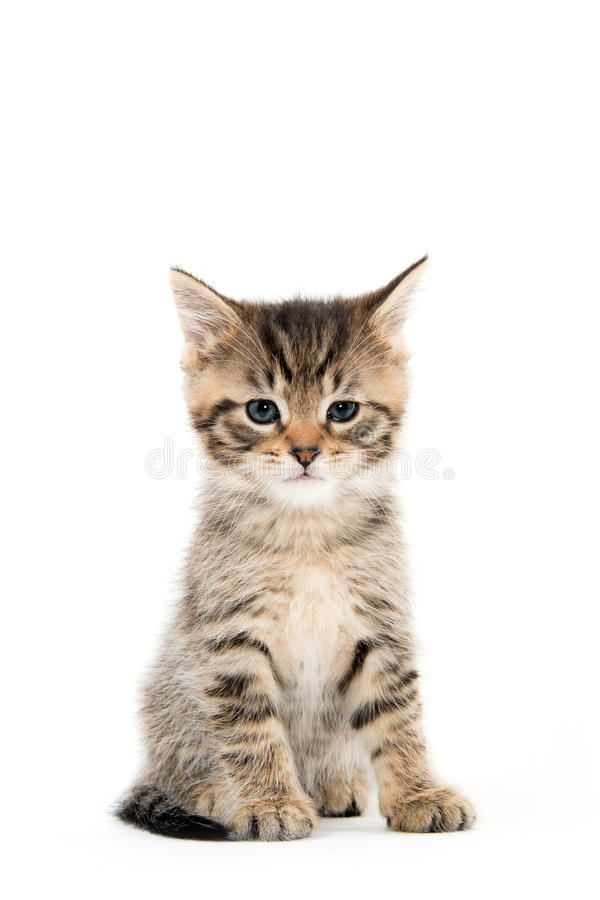 Cute tabby kitten sitting on white royalty free stock photography