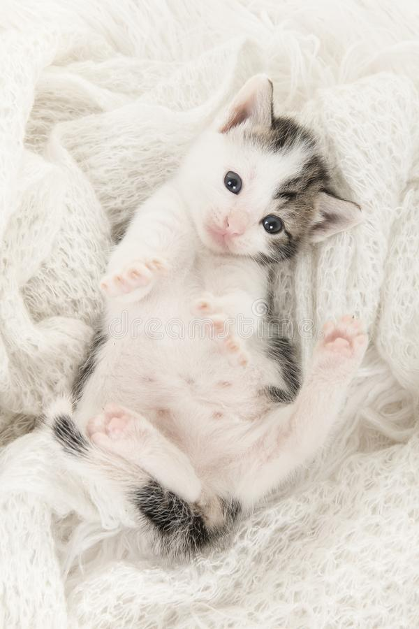 Cute tabby and white baby cat lying on its back playing on a off white woolen backgroun royalty free stock images