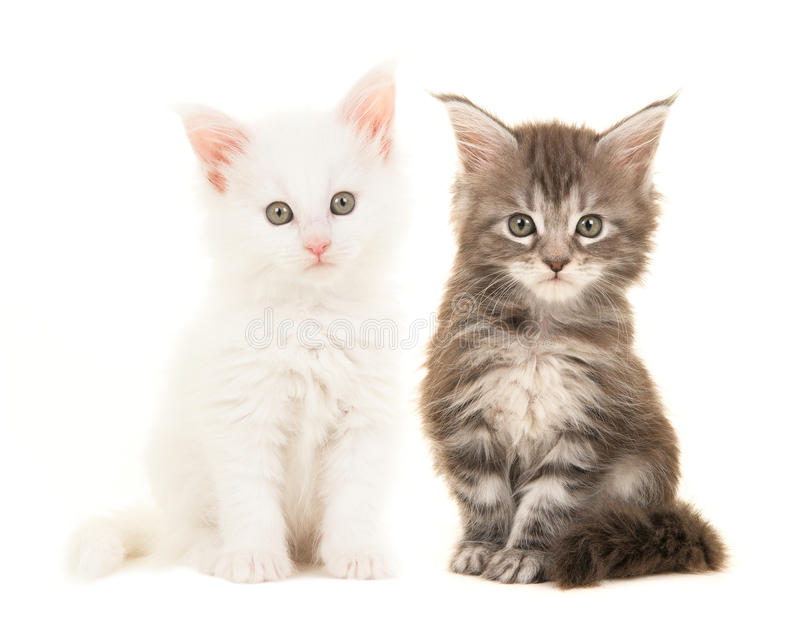 Cute tabby and white main coon baby cats sitting and looking at the camera royalty free stock photography