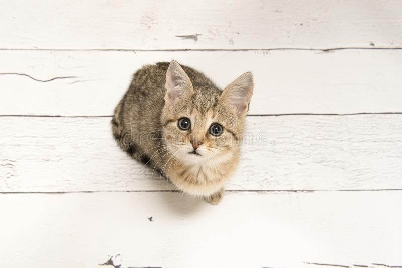 Cute tabby young cat looking up seen from a high angle view on a stock photo