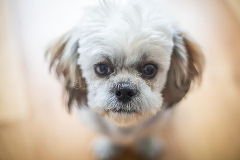 Cute Shitzu puppy. royalty free stock photo