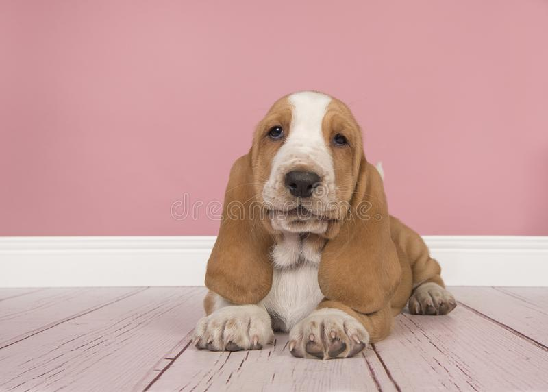 Cute Tan And White Basset Hound Puppy Lying Down Seen From The F ...