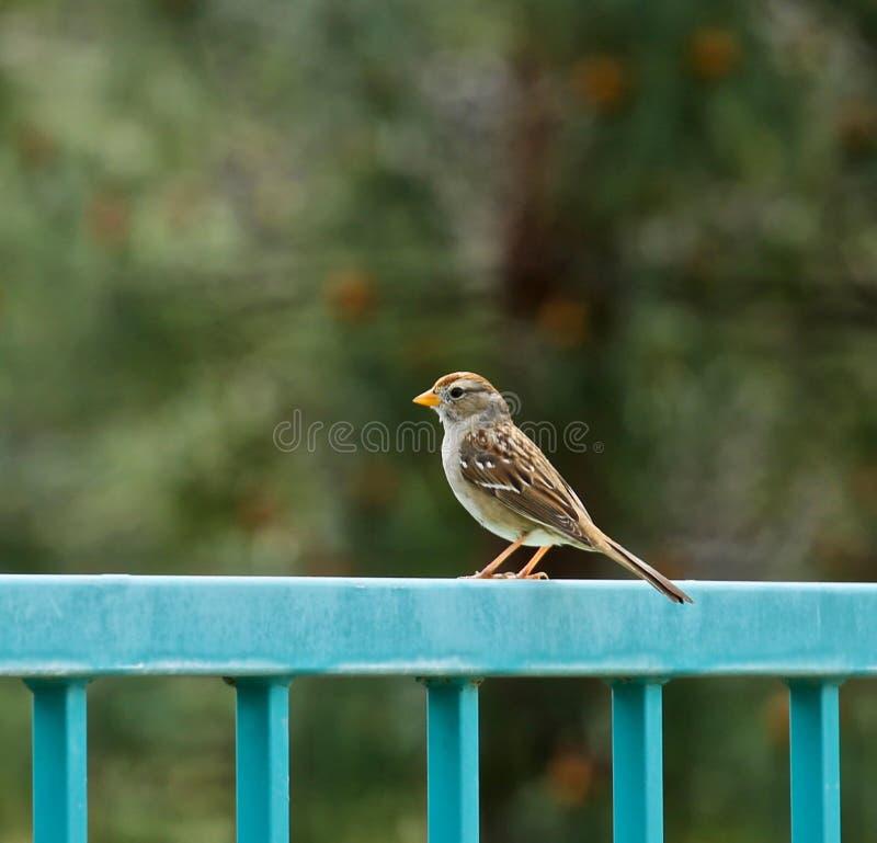 Sparrow bird fence stock photography