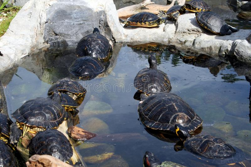 Download Cute Terrapins In The Water Stock Photo - Image: 26452066