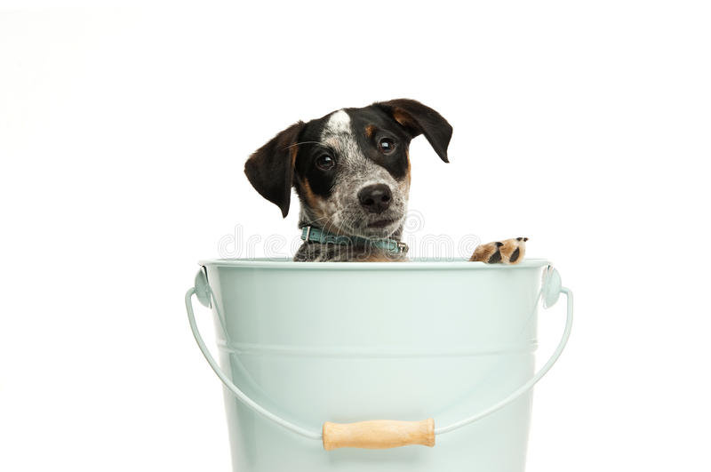 Cute Terrier Puppy In A Bucket Stock Images