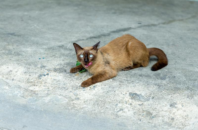 A cute thai cat, call siamese cat looking at the camera and show Pink tongue with cement floor background, selective focus. stock photos