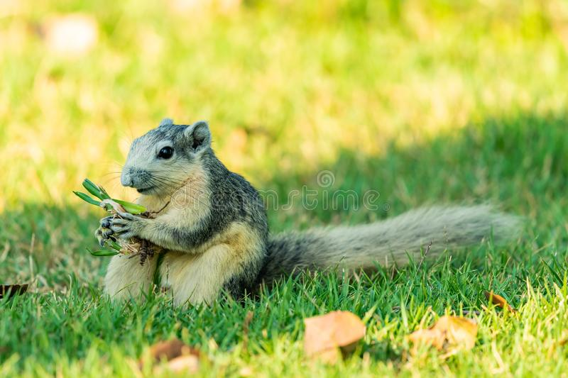 Cute Thai common squirrel enjoy gnawing a grass with root stock image