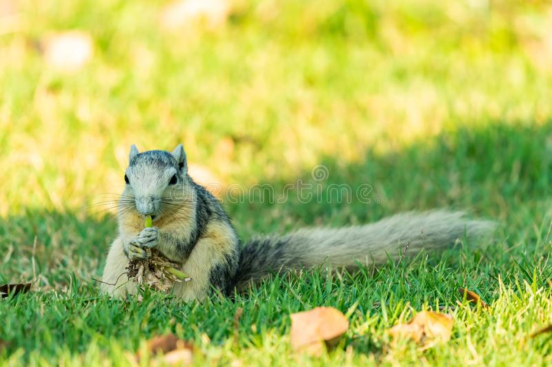 Cute Thai common squirrel enjoy gnawing a grass with root stock photography