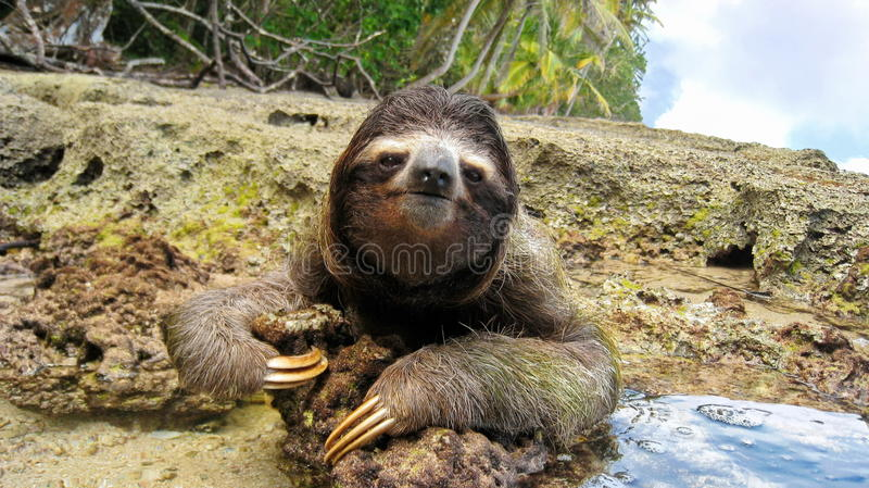 Cute three-toed sloth on ground of tropical shore. Cute three-toed sloth on the ground of tropical shore in the national park of Cahuita, Costa Rica, Central royalty free stock photo