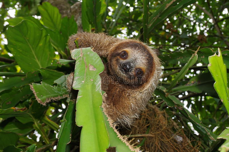 Cute three-toed sloth in a jungle tree wild animal stock photography