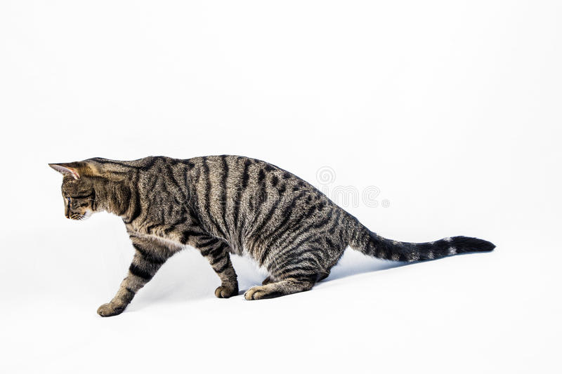 Cute tiger cat isolated on white royalty free stock photos