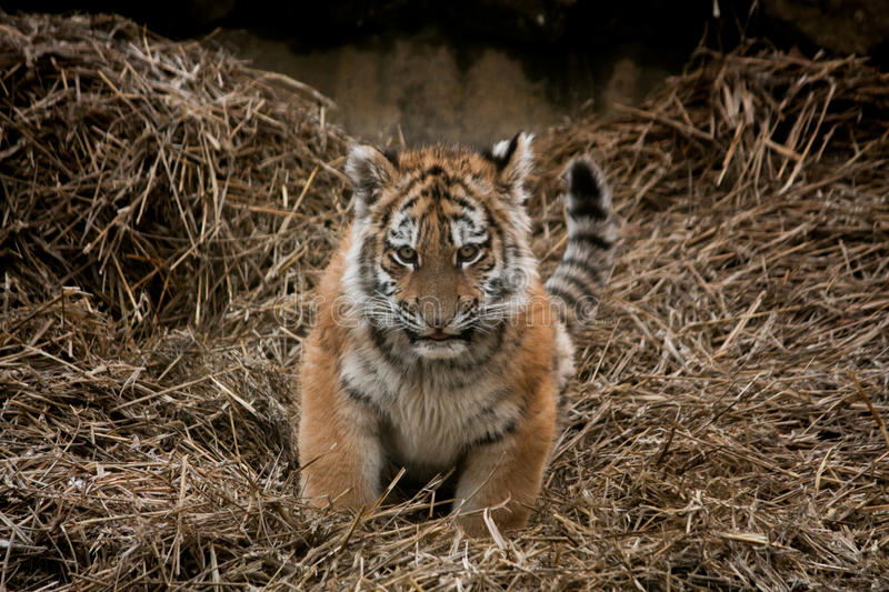 Cute tiger cub resting in the hay stock photo image of dangerous download cute tiger cub resting in the hay stock photo image of dangerous carnivore thecheapjerseys Image collections