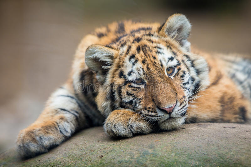Cute tiger cub stock image image of east lazy mammal 63082267 download cute tiger cub stock image image of east lazy mammal 63082267 thecheapjerseys Image collections