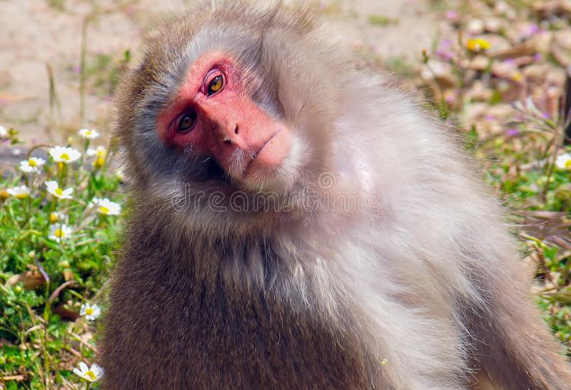 A cute monkey. A cute tilted head monkey stock images