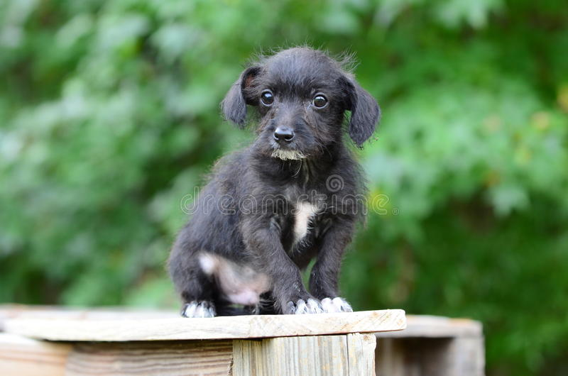 Wire haired chihuahua terrier puppy dog. Cute tiny black terrier mixed breed puppy with scruffy fur. Animal Shelter outdoor adoption pet photography. Monroe stock image