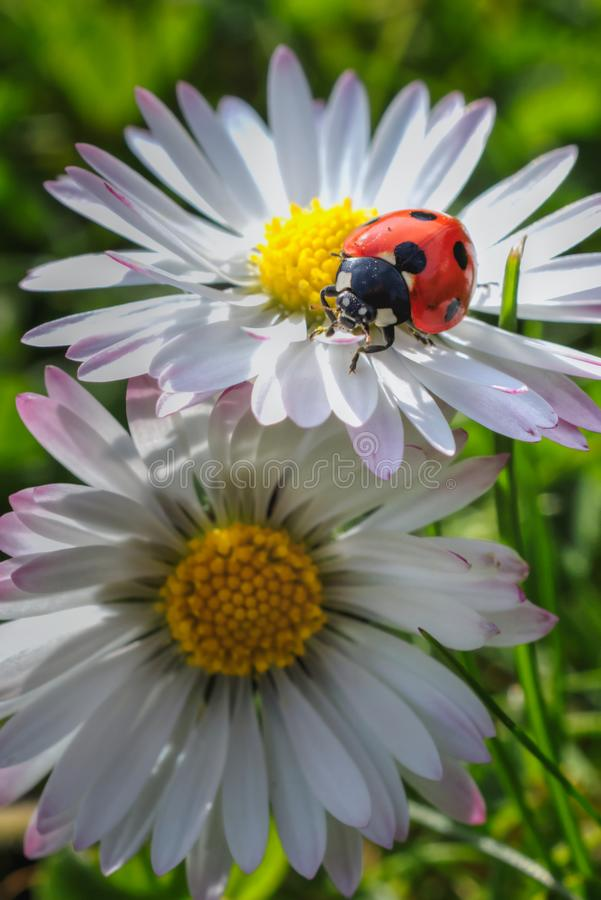 Cute tiny red lady sittin on a daisy in the garden. Cute tiny red lady sitting on a daisy in the garden. Cute tiny red lady sittin on a daisy in the stock images
