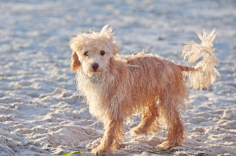 A Cute Tiny Wet Puppy Dog Alone on the Sandy Beach stock photography