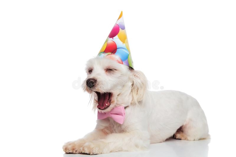 Cute and tired gentleman bichon with birthday hat yawning. While lying on white background royalty free stock photography