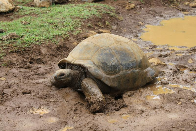 A cute tortoise in mud, Mauritius stock photography