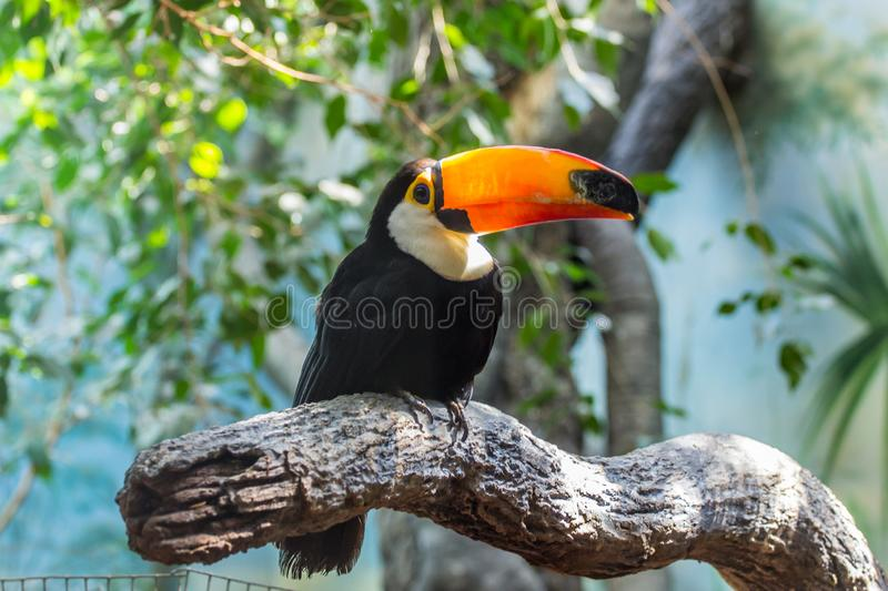 Cute toucan on the tree. Beautiful birds of the world. Birds of America royalty free stock photos