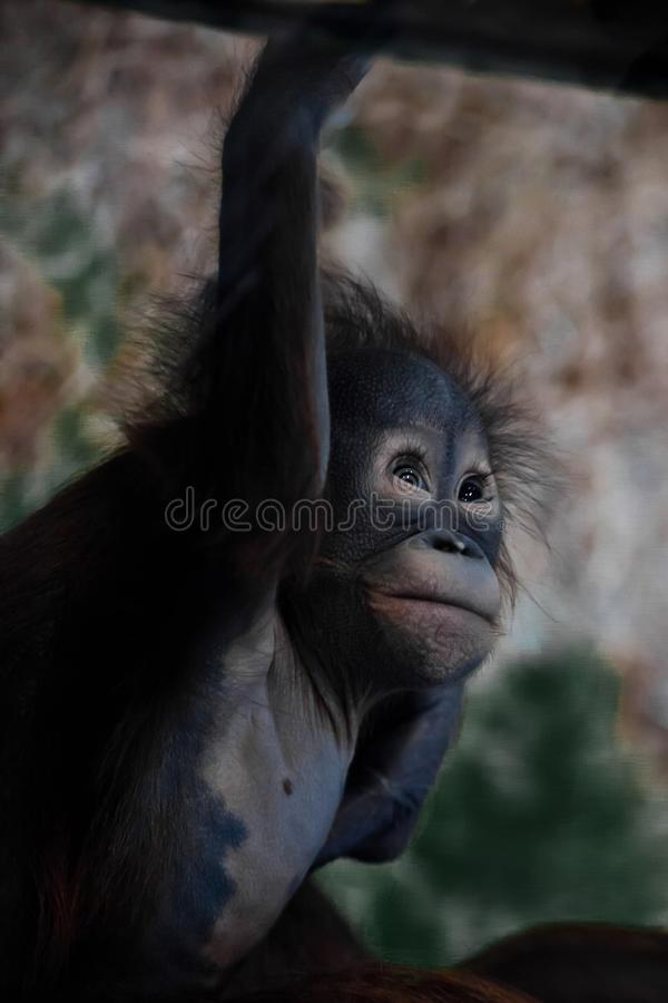 Cute and touching little baby orangutan royalty free stock photo