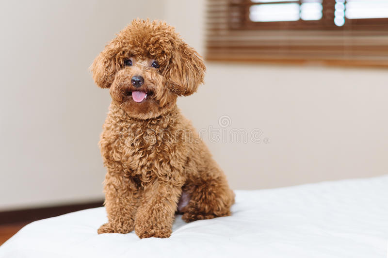 Cute Toy Poodle sitting on bed stock images